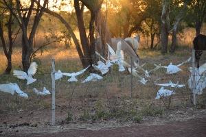 White Cockatoos at sunset
