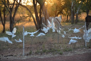 White Cockatoos at sunset