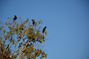 The elusive Black Cockatoo