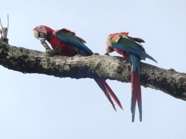 Macaws in the wild