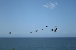 Pelican Show