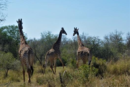 Giraffe 04