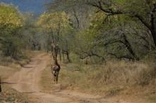 Giraffe 07
