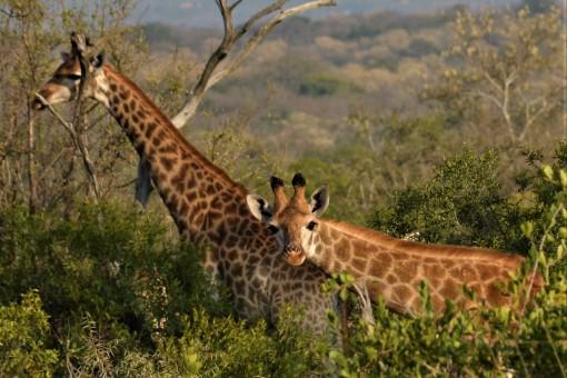 Giraffe 09